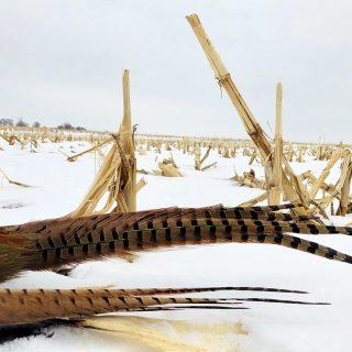 SD- Pheasant 3